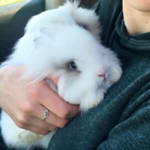 Fancy Purebred Friendly Young Lionhead Rabbits