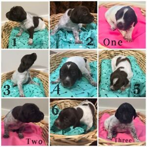 German Shorthaired Pointer Puppies - only 4 left! GSP / Bird Dog