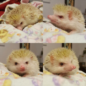 Male Apricot Pinto Hedgehog for Adoption