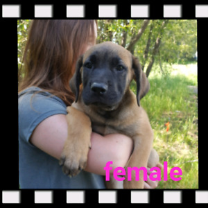 St.newfie / Daniff puppies