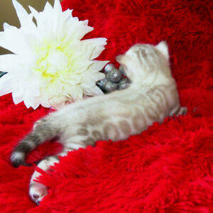 ★ TOP QUALITY TICA REGISTERED BENGAL KITTENS