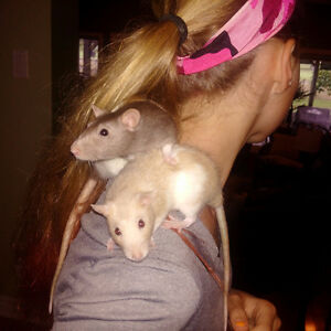 Pet Rats Free T Good Home