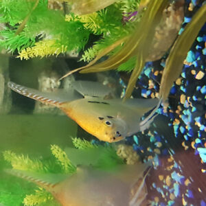 Adult Male Gold Marble Angelfish