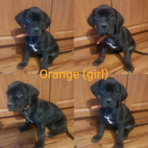 Great Cane Puppies!! 2 LEFT!!