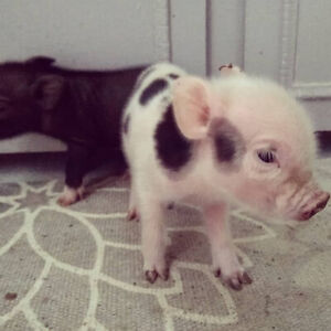 Last adorable mini-piglet looking for a loving home