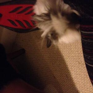 Double Main LionHead Bunny