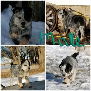 Blue Heeler Pups for sale.  $500.00