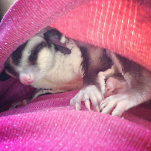 Sugar Gliders! Pair White face and a standard
