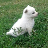 Miniature American Eskimo Puppies For Sale