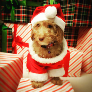 Miniature Poodle Puppies For Sale- Perfect christmas gift