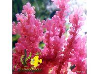 Red Grape Macro Algae for Marine Tanks, Seahorse Aquarium & Reef Tank. Beautiful as Coral Frags