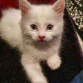 White Boy Kitten.