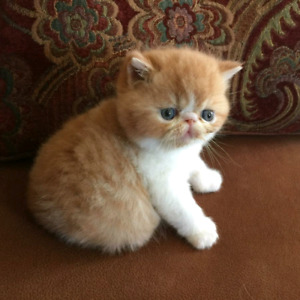 Looking for an exotic shorthair kitten or young adult