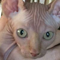Sphynx de Noel - Femelle Tabby Crème