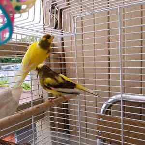 2 Male Canaries and Large cage