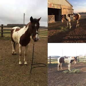 Paint Gelding for SALE