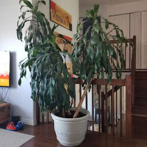 Plante palmier 3 tiges (8 pieds de hauteur) et pot (léger)