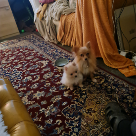 True Miniature pomeranians for sale ready to go at weekend