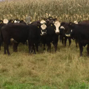 50 Black Angus/Simmental Bred Heifers For Sale Peterborough Peterborough Area image 1