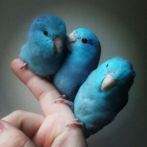 ♥☆♥ Parrotlet Babies with Cage and Food ♥☆♥