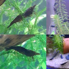 Black or patterned cherry shrimp