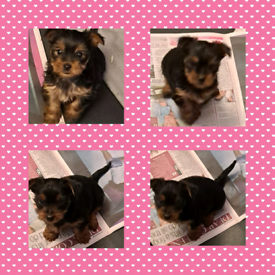 Yorkshire terrier puppies 5 generation pedigree