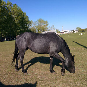 HOT BLUE ROAN MARE LAST CHANCE