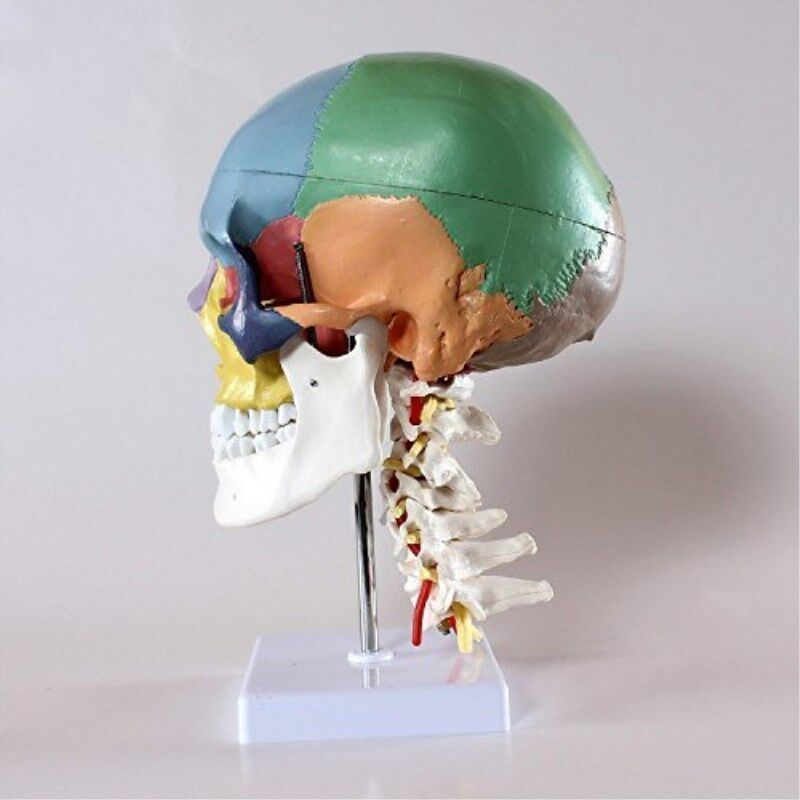 New Didactic Human Skull Model with 7 Cervical Vertebrae Nerve Artery and Stand