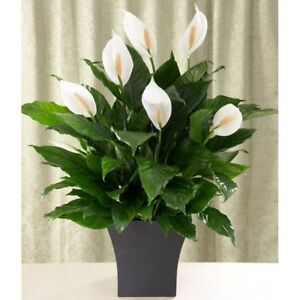 Peace lily flowers trees plants ebay houseplant house white groco plant mightylinksfo