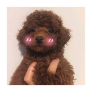 Red toy-sized poodle puppies