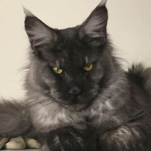 Maine coon chaton /Maine coon Kitten