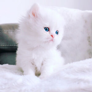 Exceptionnels Persans Chinchillas Doll Face Blancs ou Silvers