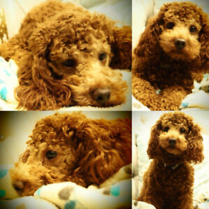 Beautiful Toy Poodle Female & Male