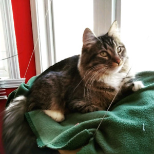 CHAT PERDU LIMOILOU/CHARLESBOURG