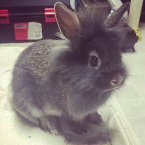 Lionhead bunny with cage.