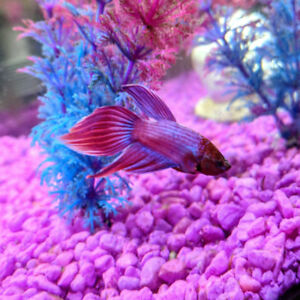 Red Violet Veiltail Betta