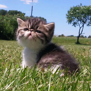 Exotic short hair and long hair male kittens for sale