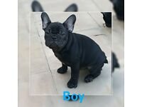 1 kc frenchbulldog puppies READY TO LEAVE NOW!!!
