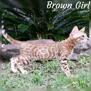 Easter SPECIAL!Wild looking Bengal kittens with sweet temperament