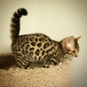 TICA Bengal kittens available! Delivery on Saturday!