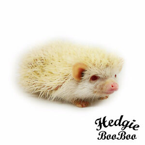 8 months old female albino baby hedgehoge.