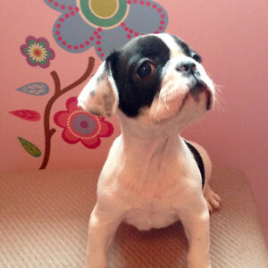 French Bulldog Puppy price negotiable to good home :)
