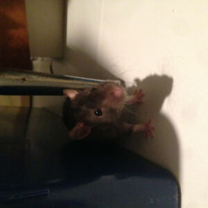 Baby male Rex Rat For Sale to Forever Loving home only!!