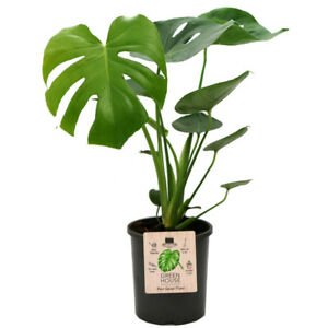 Recherche plante ou bouture plante monstera