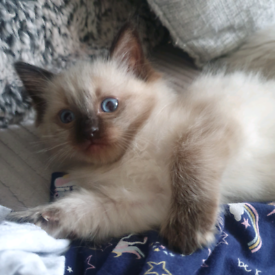 Gorgeous Ragdoll kittens, 1 Seal point boy available
