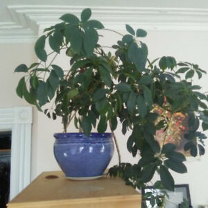 Gigantic House Plant for Sale