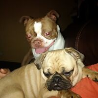 Pugstons (Bug) Red & White boston Terrier and Pug