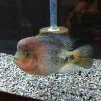 Red-Head Cichlid for sale