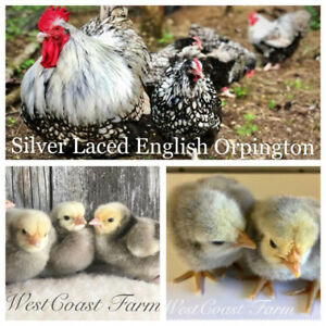 Beautiful and rare Silver Laced English Orpingtons