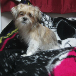 Shorky female 1/2 Yorky 1/2 shih Tzu